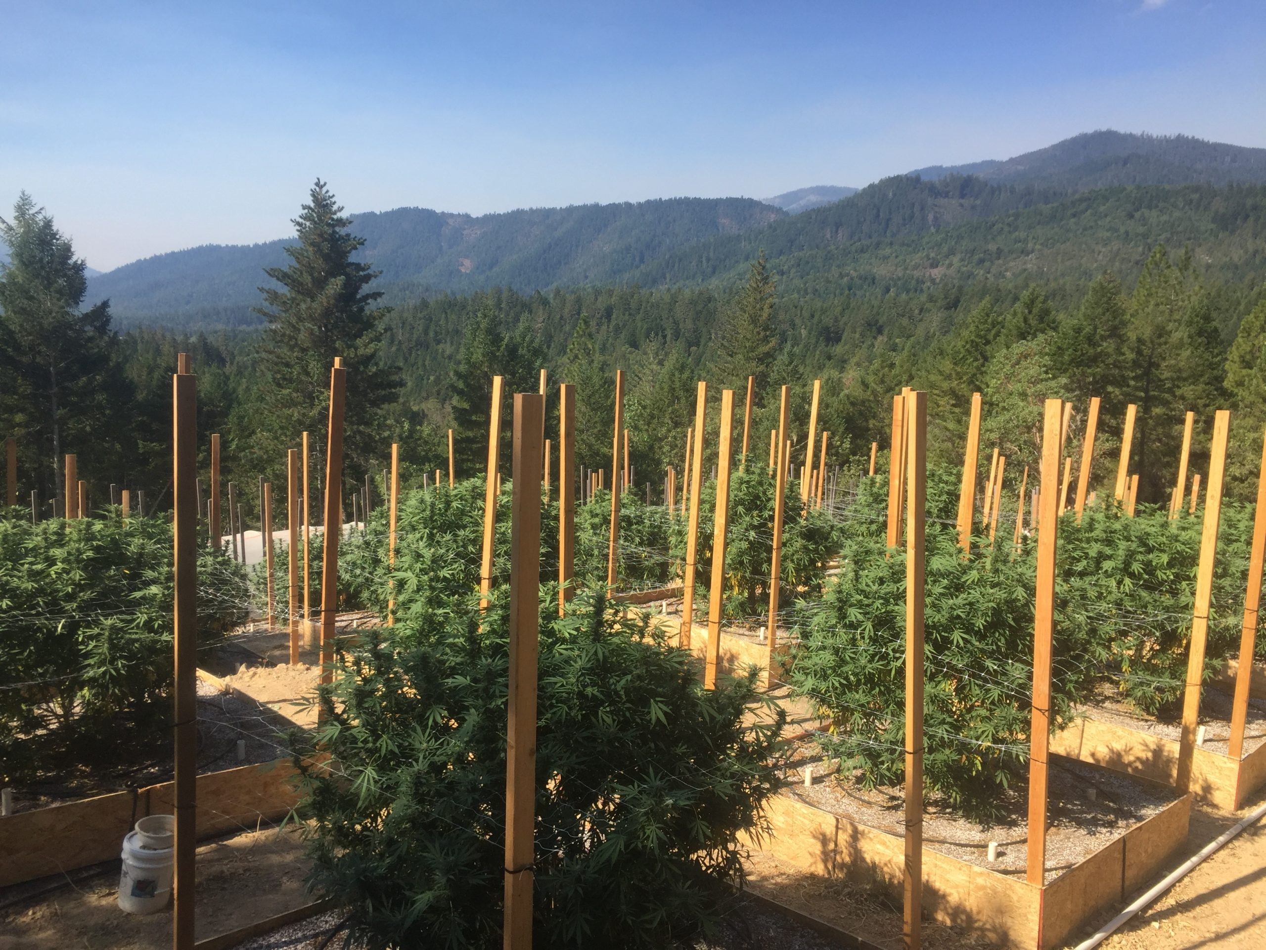 Researchers are trying to better understand how expanded cannabis acreage is affecting water resources. Photo by Hekia Bodwitch