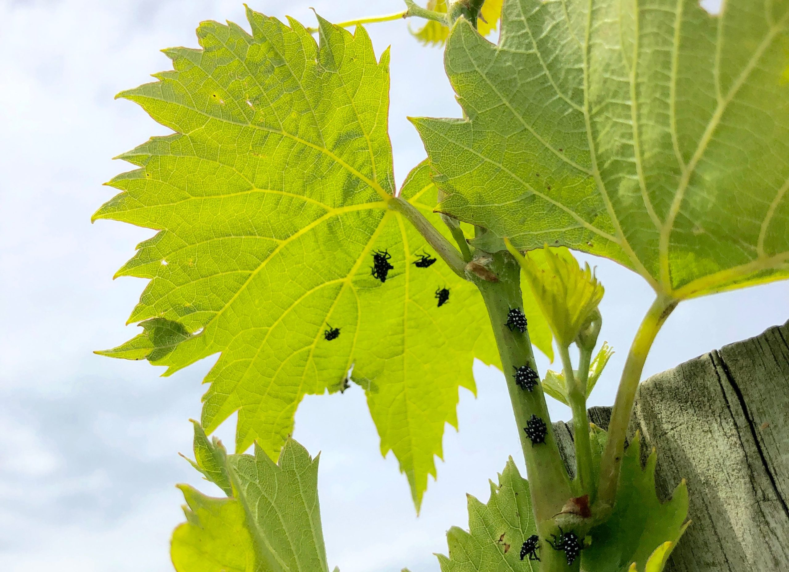 Spotted Lanterflies attack vines at Vyncrest Vineyard & Winery / Photo Credit: Robin Shreeves